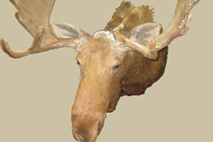 This real moose head was donated recently. Poor Bullwinkle!